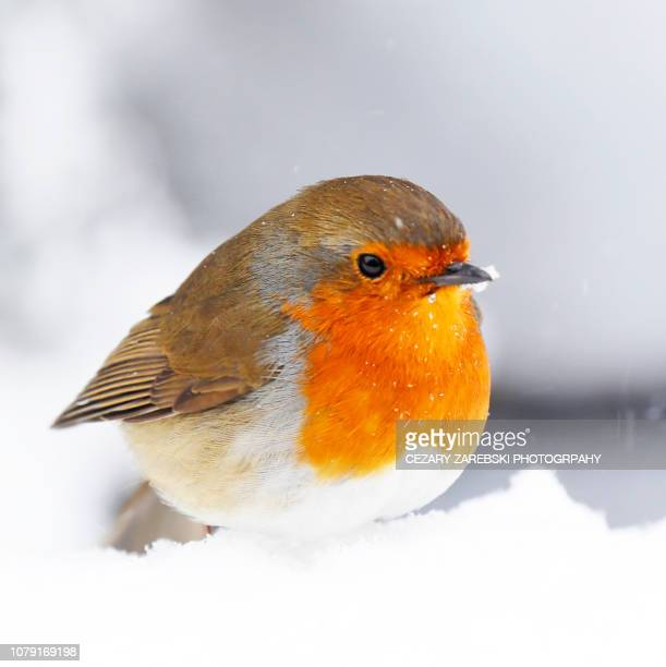 christmas holiday bird robin - american robin stock pictures, royalty-free photos & images