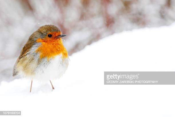 christmas holiday bird robin - songbird stock pictures, royalty-free photos & images