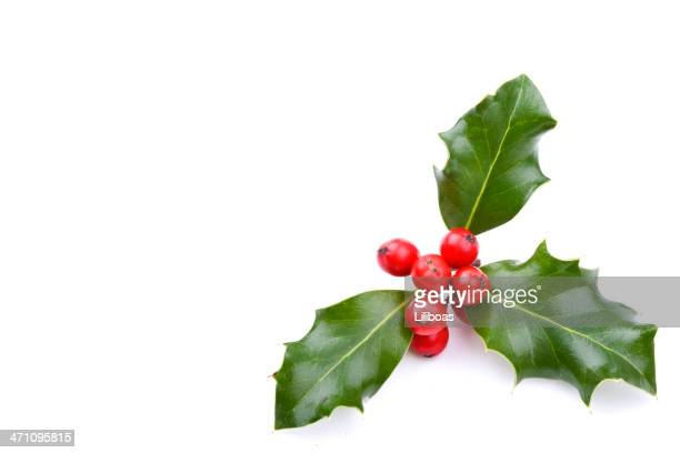 christmas holiday holly plant isolated on white background - holly stock pictures, royalty-free photos & images