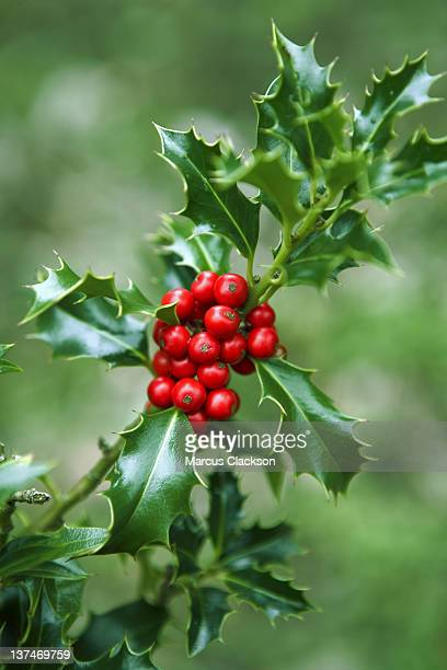 Christmas Holly Branch with berries