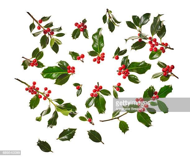 christmas holly on white - twijg stockfoto's en -beelden