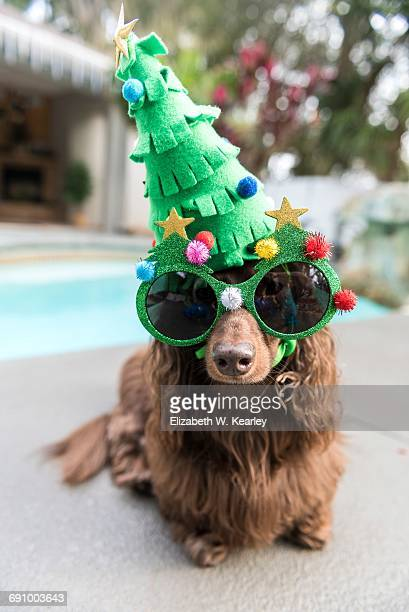christmas in warm climates - dachshund holiday stock pictures, royalty-free photos & images