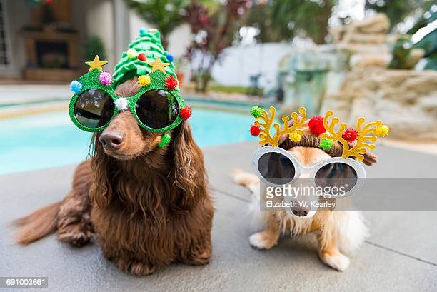 christmas in warm climates - dachshund christmas stock pictures, royalty-free photos & images