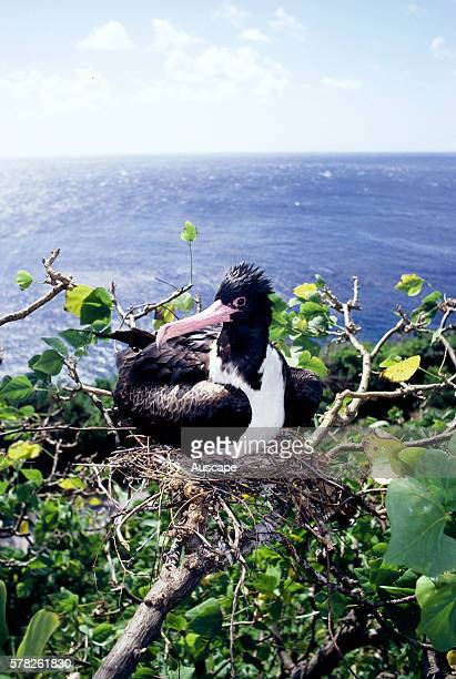 Christmas Island frigatebird Fregata andrewsi female on nest Christmas Island Indian Ocean Australian Territory