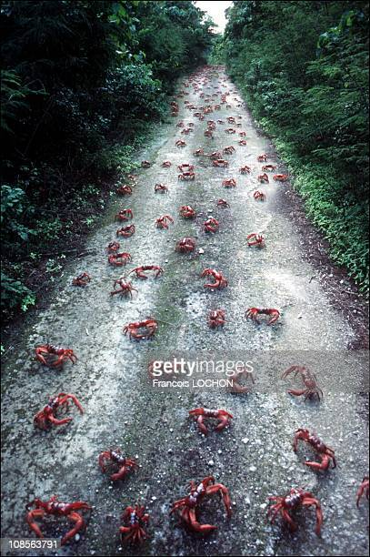 Christmas island invasion of crabs in Australia on January 07th 1992