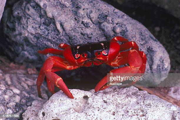 Christmas Island red crab Gecarcoidea natalis close up Christmas Island Indian Ocean Australian Territory