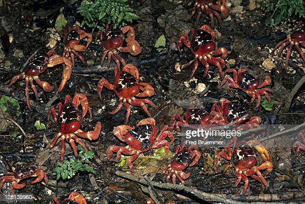 Christmas Island red crabs, Gecarcoidea natalis, leaving their burrows during rainy season and head out to sea to spawn, Christmas Island