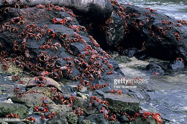 christmas island red crabs, gecarcoidea natalis, spawning in surf on rocky seashore, christmas island - christmas island stock pictures, royalty-free photos & images