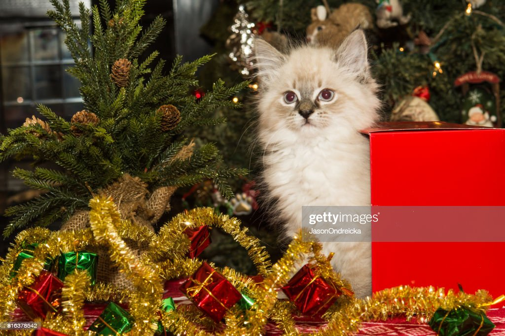 Christmas Kitten Stock Photo | Getty Images
