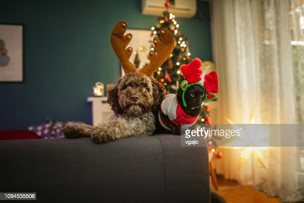 christmas pets - cat and dog stock pictures, royalty-free photos & images