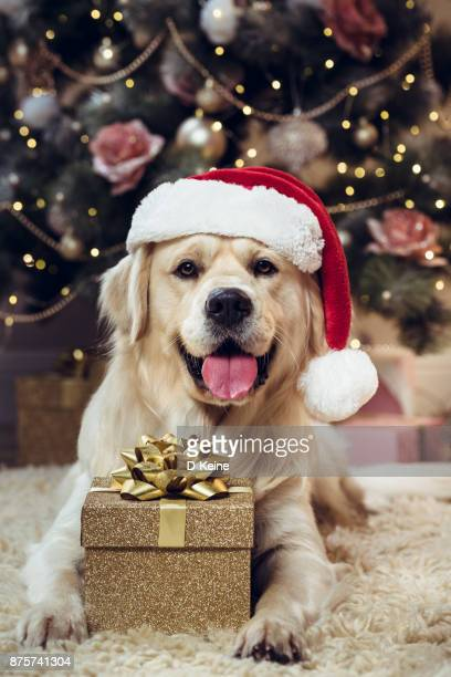 christmas - christmas dog stock pictures, royalty-free photos & images