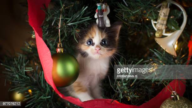 christmas - christmas kittens stock pictures, royalty-free photos & images