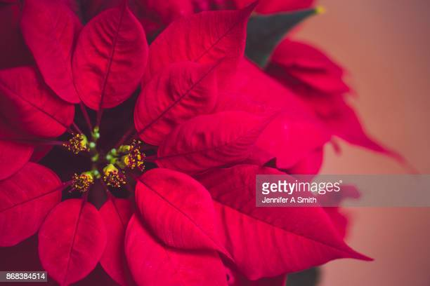 christmas poinsettia - christmas star stock photos and pictures