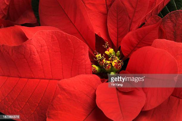 christmas poinsettia single red flower close-up,  festive holiday blooming plant - christmas star stock photos and pictures