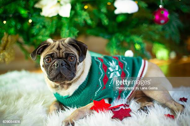 christmas pug - puggle stock pictures, royalty-free photos & images