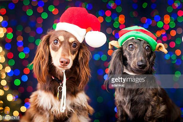christmas puppies - dachshund christmas stock pictures, royalty-free photos & images