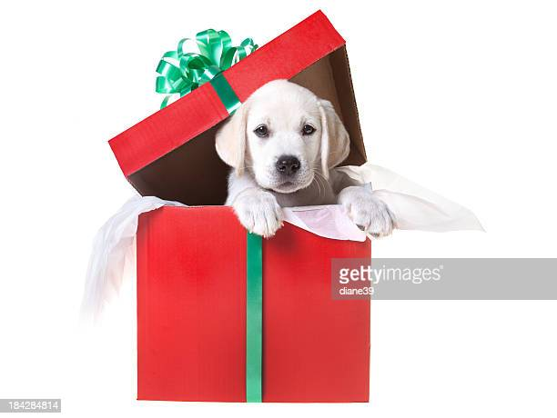 Christmas puppy in a gift box