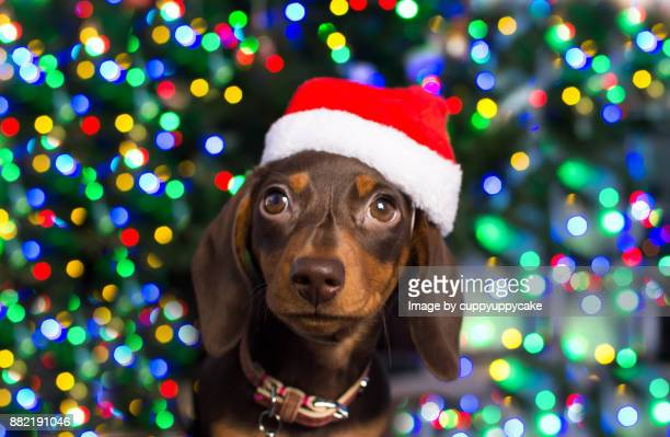 christmas puppy in a santa hat - dachshund christmas stock pictures, royalty-free photos & images