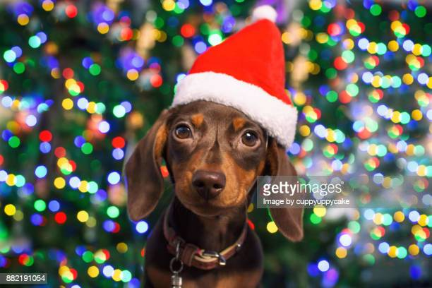 christmas puppy pet portrait - dachshund holiday stock pictures, royalty-free photos & images