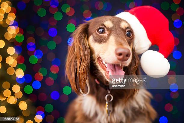 christmas puppy - dachshund holiday stock pictures, royalty-free photos & images