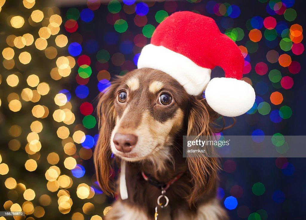 Christmas Puppy : Stock Photo