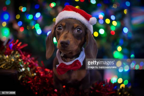 christmas puppy - dachshund christmas stock pictures, royalty-free photos & images