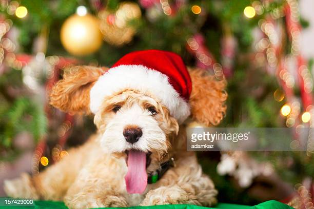 christmas puppy yawning - christmas dog stock pictures, royalty-free photos & images