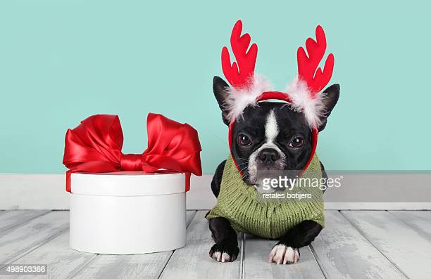 christmas reindeer puppy - traditional clothing stock pictures, royalty-free photos & images