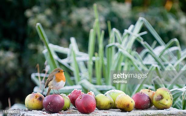 christmas robin - robin stock pictures, royalty-free photos & images
