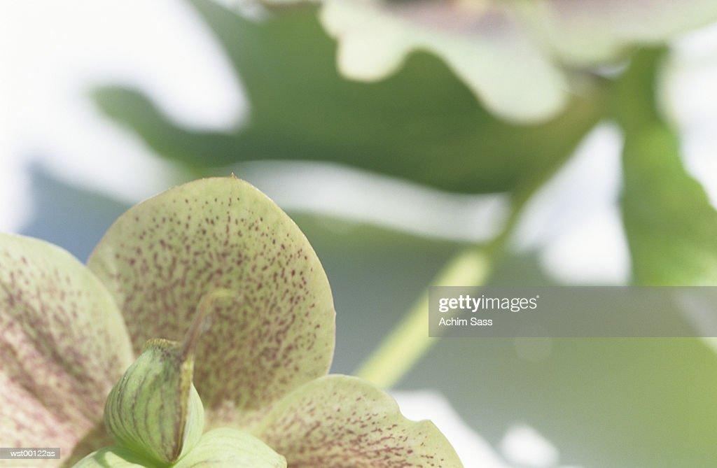 Christmas rose, close up : Stock Photo