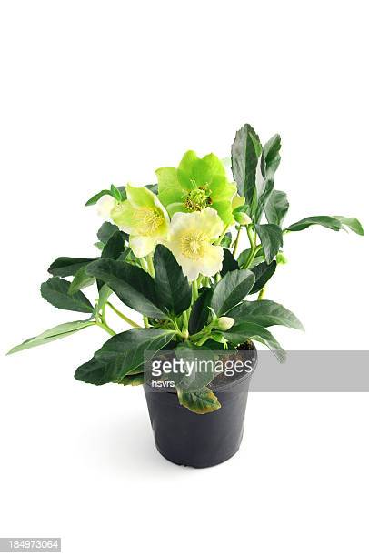Christmas rose (Helleborus niger) with buds in flower pot