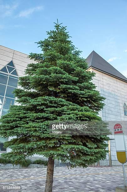 christmas tree at biei, hokkaido, japan - vsojoy stock pictures, royalty-free photos & images