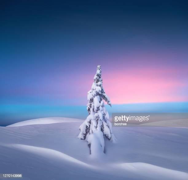 weihnachtsbaum bei sonnenuntergang - kieferngewächse stock-fotos und bilder