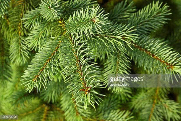 Christmas tree backgound