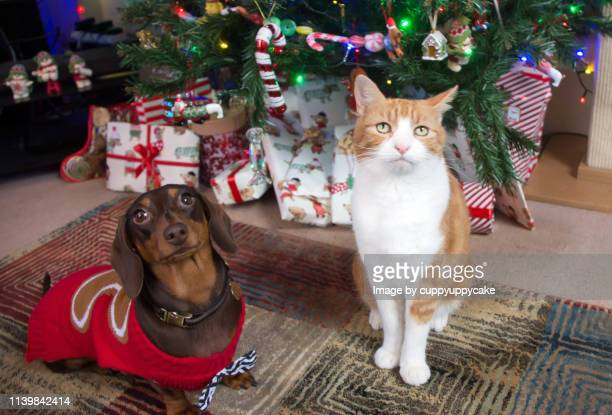 christmas tree bandits - dachshund holiday stock pictures, royalty-free photos & images