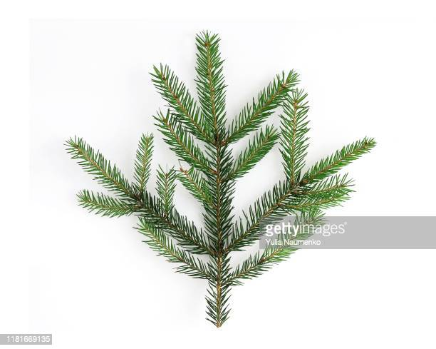 christmas tree branch, close-up, isolated on a white background. winter festive decor. - twijg stockfoto's en -beelden