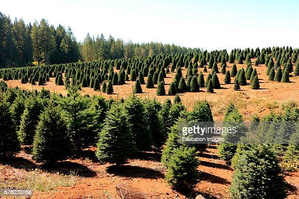 Christmas tree farm in the Willamette Valley area of west central Oregon.