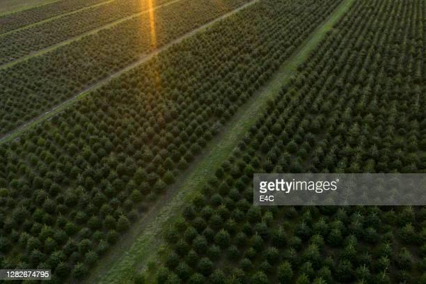 christmas tree farm - tree farm stock pictures, royalty-free photos & images