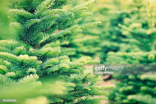 christmas tree farm - christmas tree farm stock pictures, royalty-free photos & images