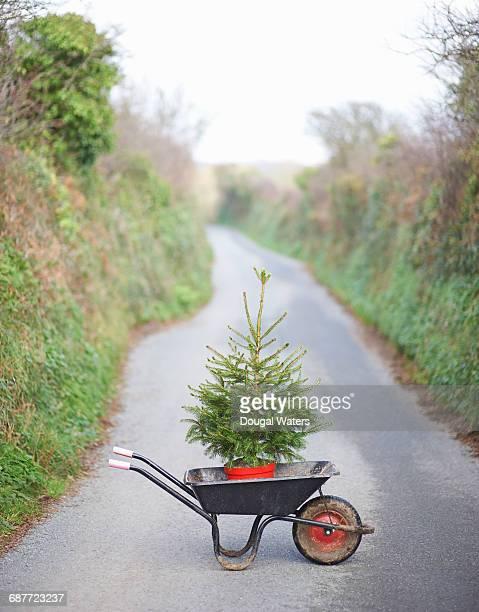 Christmas tree in wheelbarrow on country lane.