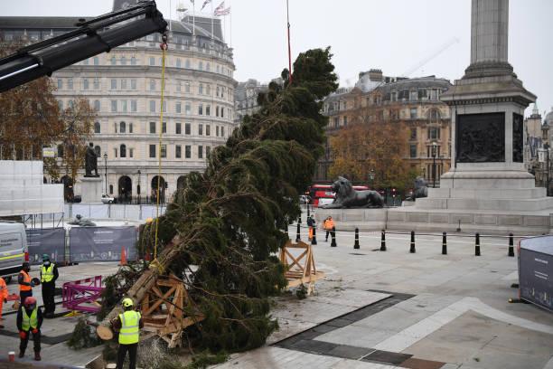 GBR: Trafalgar Square Receives Christmas Tree For The Festive Season