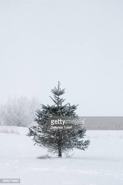 Christmas Tree - Isolated in winter nature