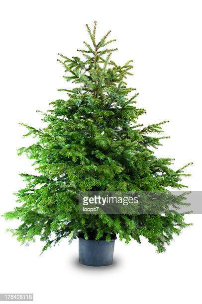 christmas tree - spruce tree stock pictures, royalty-free photos & images