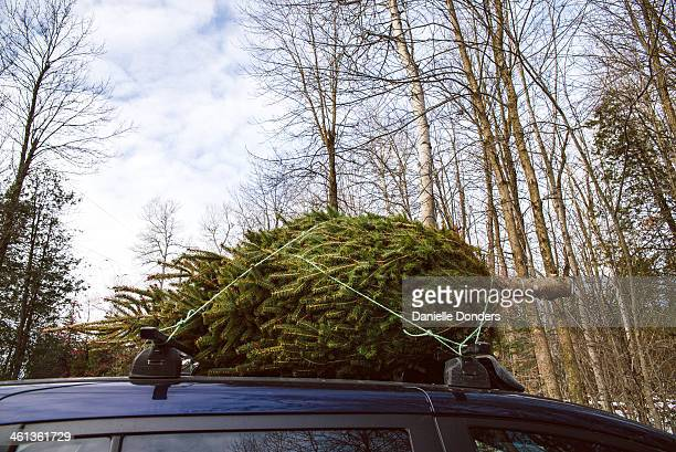 """christmas tree tied to top of a car - """"danielle donders"""" stock pictures, royalty-free photos & images"""