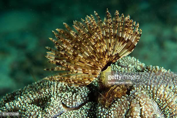 Christmas Tree Worm live on hard coral/tube worm.