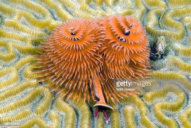 Christmas tree worm on brain coral Curacao Netherlands Antilles