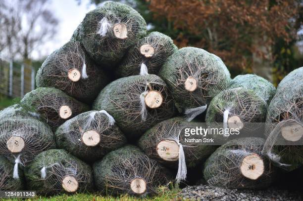 Christmas trees are seen as Clayton Fold Christmas Tree Farm prepare Nordmann Fir and Norway Spruce trees before they go on sale during the Christmas...