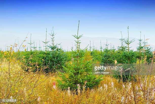 Christmas Trees Growing in Unkept Field