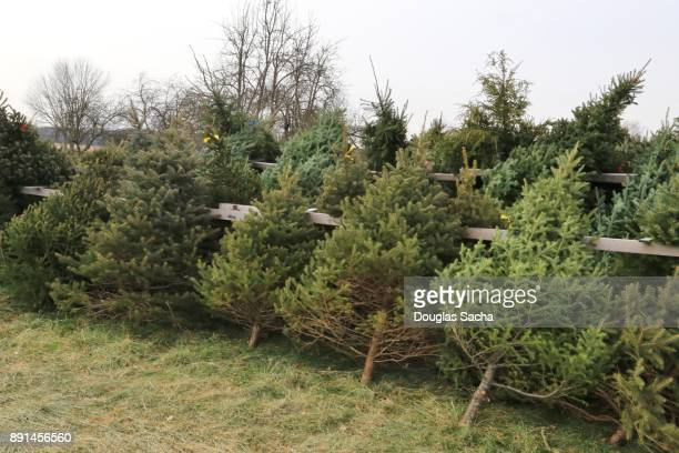 Christmas Trees lined up for purchase