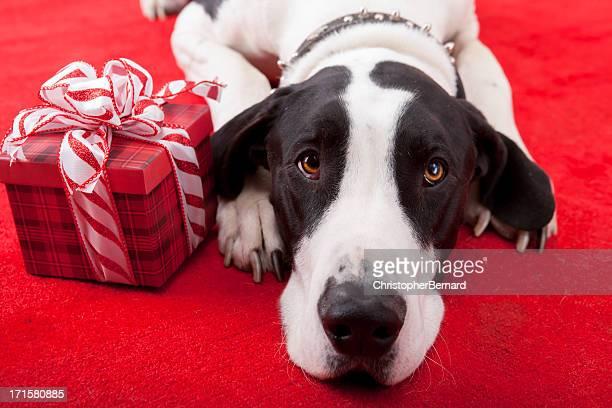 Weihnachten-Dogge Leg dich auf Teppich mit Geschenk